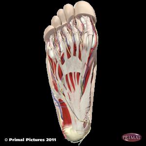 Plantarfaszie Anatomie