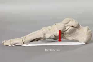 Plantarfaszie Skelett